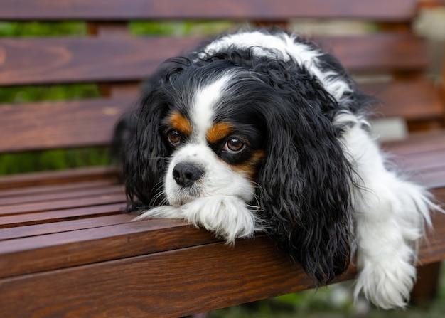De cavalier king charles spaniel-hond ligt op een houten bank te rusten.