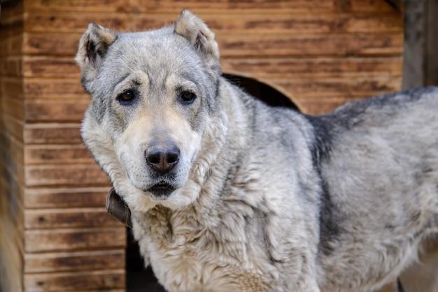 De centrale aziatische close-up van de herdershond