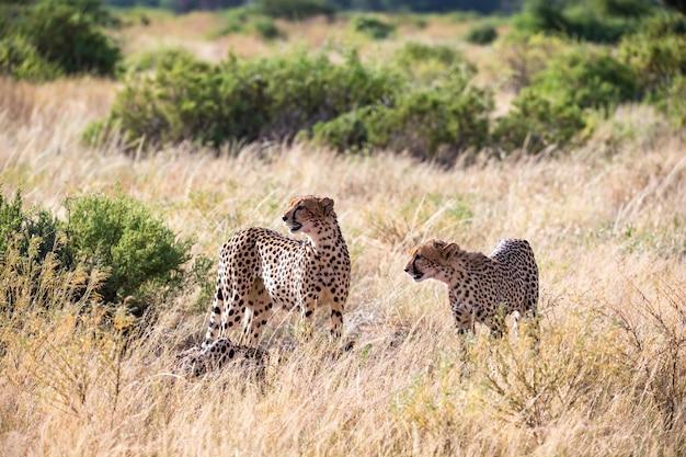 De cheeta's eten midden in het gras