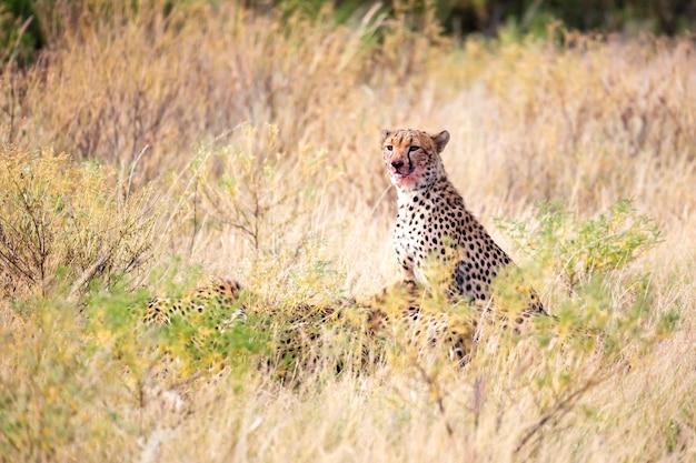 De cheetah eet midden in het gras