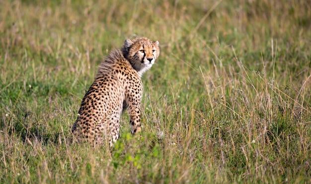 De cheetah zit in het graslandschap van de savanne van kenia