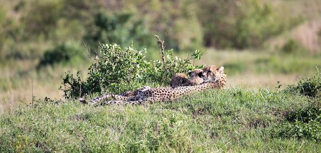 De cheetahmoeder met twee kinderen in de keniaanse savanne