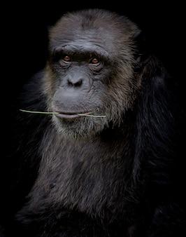 De chimpansee houdt tak in zijn mond op zwarte achtergrond