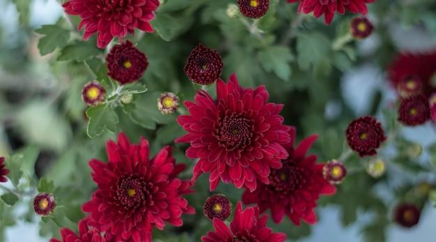 De chrysantenbloemen als achtergrond sluiten omhoog. bourgondische (paarse) chrysanten. chrysanthemum behang. florale achtergrond.