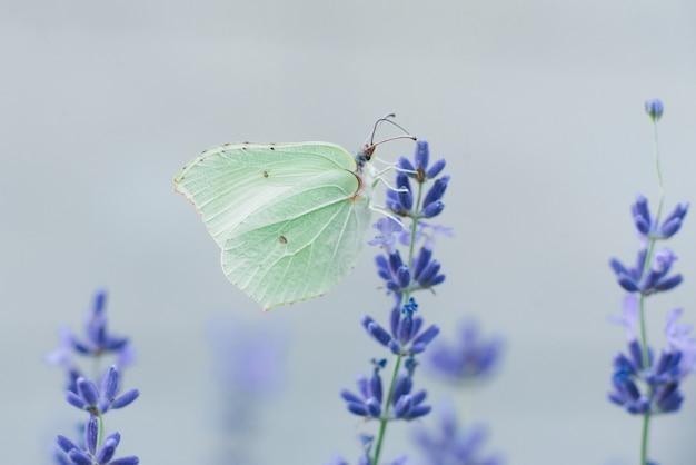 De citroengras vlinder zit op een lavendel bloem en drinkt nectar op een bloem in een veld. selectieve aandacht