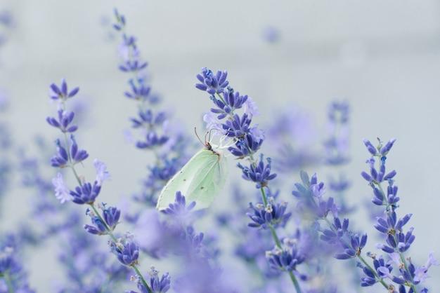 De citroengras vlinder zit op een lavendel bloem en drinkt nectar op een bloem in een veld