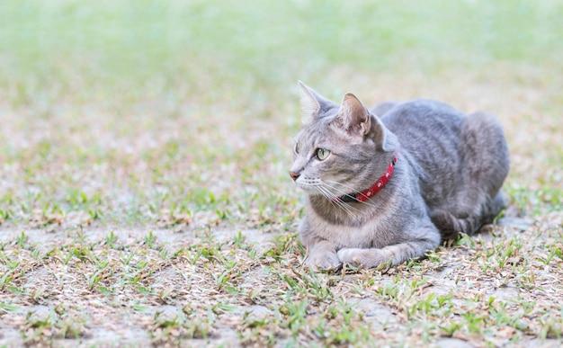 De close-up een grijze kat loog op grasgebied op de tuin geweven achtergrond met exemplaarruimte