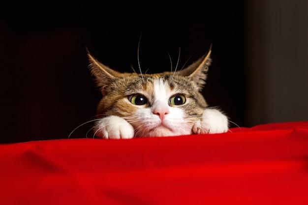De close-up expressieve kat met grote ogen en zijn oren hurkte alvorens te werpen