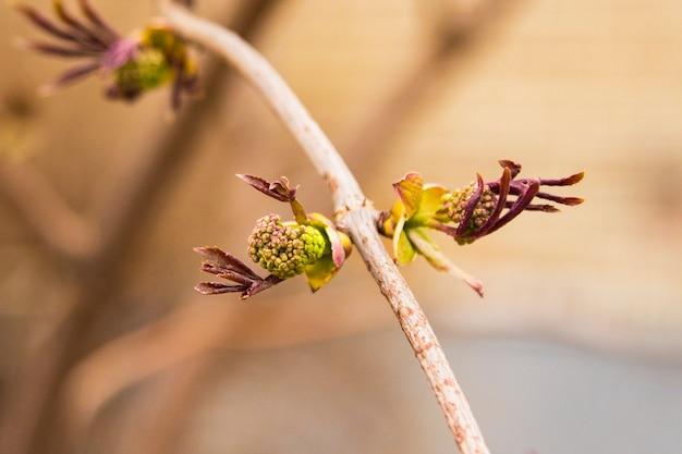 De close-up van bladeren ontluiken op het puntje van een tak. knop openen.