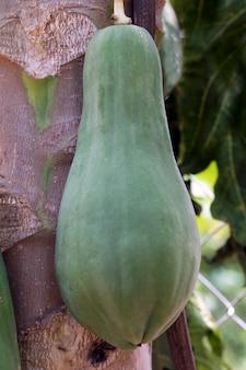 De close-up van de papajaboom met onrijpe vruchten