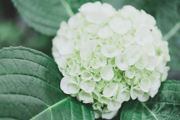 De close-up van groene hydrangea hortensia (hydrangea macrophylla) is bloeiend in de lente