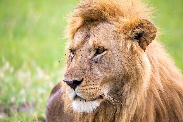 De close-up van het gezicht van een leeuw in de savanne van kenia