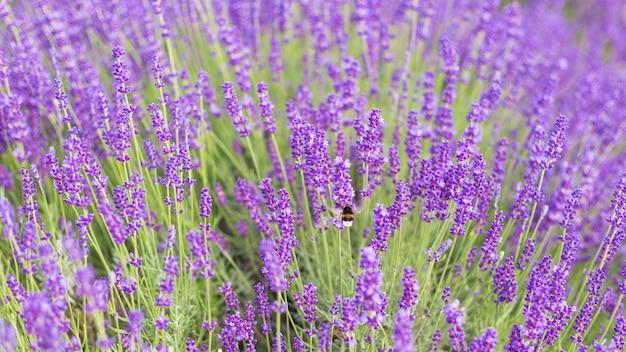De close-up van lavendelstruiken, franse lavendel in de tuin, zacht lichteffect