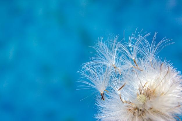 De close-up van paardebloemzaden op een blauwe achtergrond