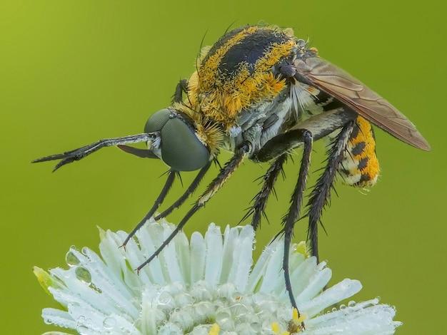 De close up van toxophora insect op witte bloem bovenaan