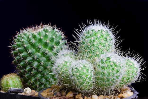 De close-upcactus isoleert op zwarte muur