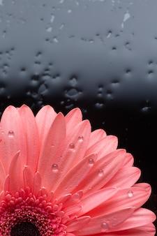 De close-uphelft van de bloem van het gerberamadeliefje