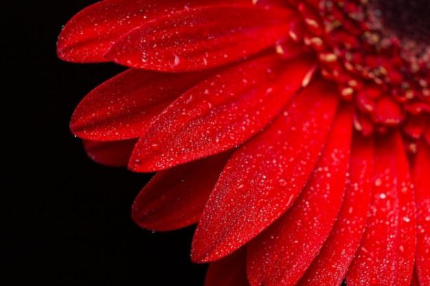 De close-uphelft van het madeliefjebloem van gerberabloemblaadjes