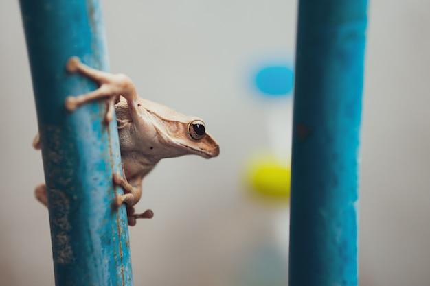 De close-upsoorten van een kleine witte kikker hangen blauw staal