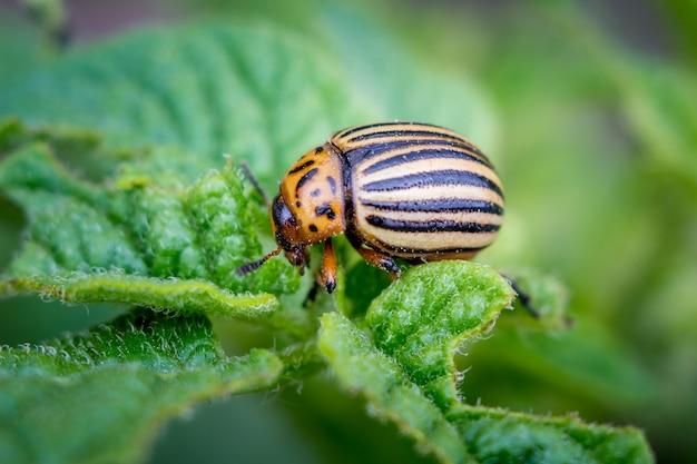 De colorado beetle vernietigt de aardappeloogst.