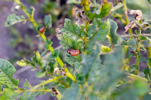 De coloradokeverlarven van colorado eten blad van jonge aardappel