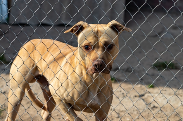 De dakloze hond achter de tralies kijkt met grote droevige ogen in de hoop een thuis en een gastheer te vinden.