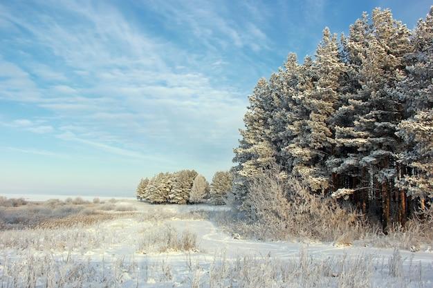 De dennen bedekt met rijm tegen de blauwe hemel. winterlandschap. winter, vorst, natuur.