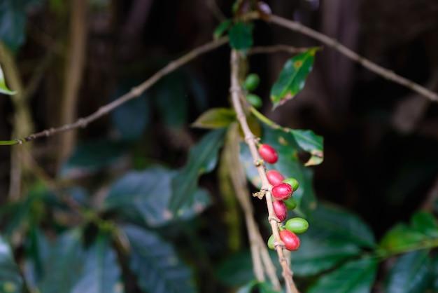 De dichte omhooggaande tak die van de koffie rode en groene koffiebonen draagt tegen donkere natuurlijk. landbouw industriële plantage in indonesië.