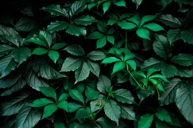 De donkergroene achtergrond van het gebladerteblad