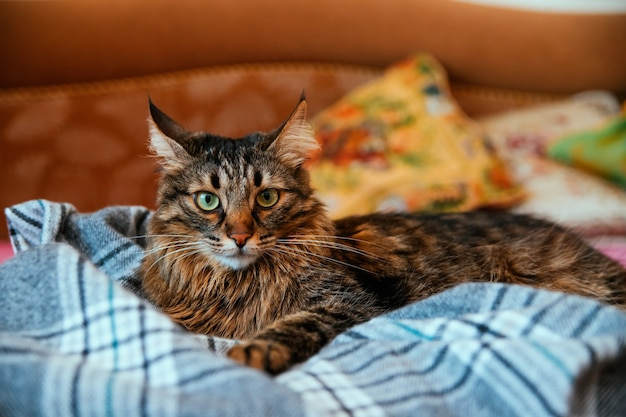 De donzige kat kijkt weg en ligt op een zachte deken. grote groene ogen en een lange snor. een huisdier.