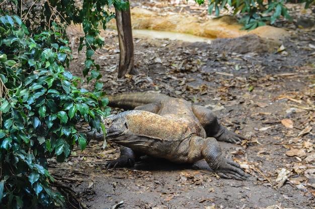 De draak komodo. komodo in de gaten houden. varanus komodoensis. reuzehagedis die van achter een struik kijkt.
