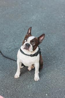 De droevige hond boston terrier zit op de bestrating en kijkt omhoog
