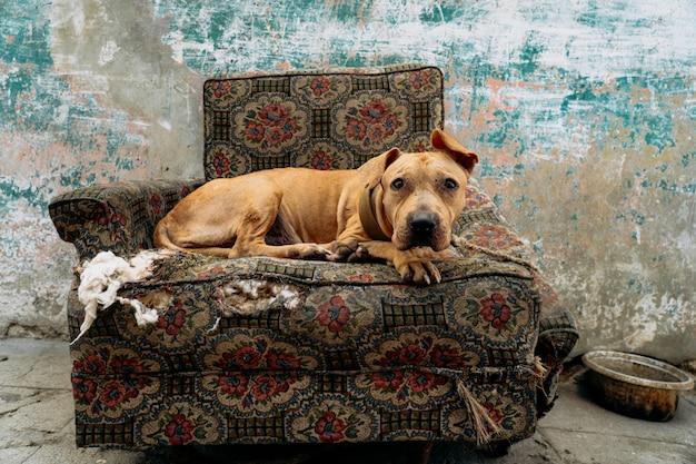 De droevige hond zit op de fauteuil