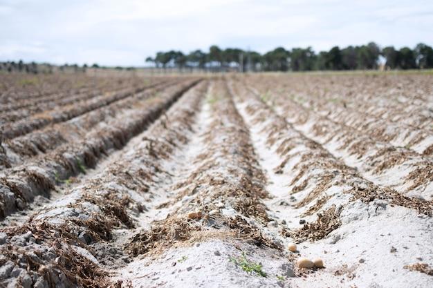 De droogte van de zomer doodt de gecultiveerde vegetatie. op de droge, korstige aarde waren de planten in de rijen opgedroogd.