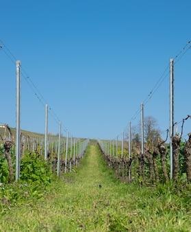 De druivenbomen van de wijnstok met zonlandschap in de lentetijd.