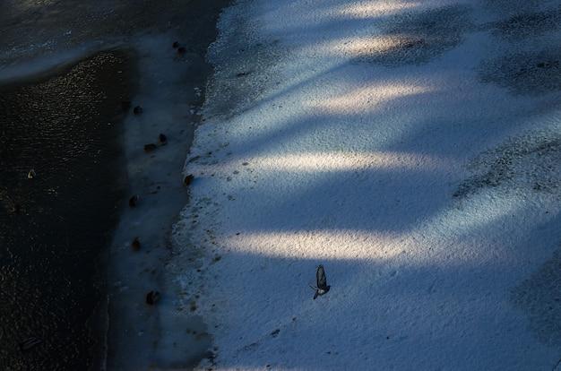 De duif op de achtergrond van sneeuwrivier en de eenden in het water onder het ijs.