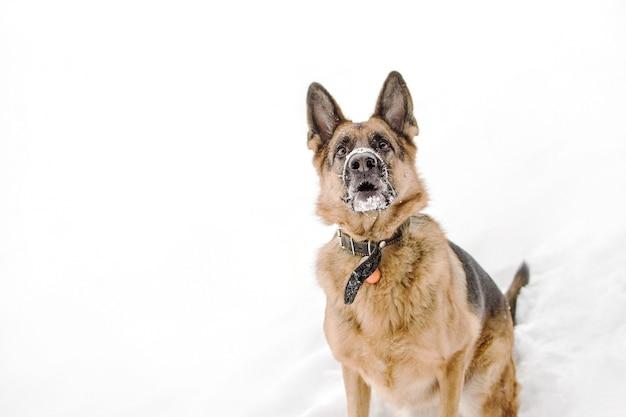 De duitse herdershond met een grappige uitdrukking die op sneeuw loopt.