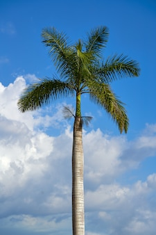 De echte koninklijke palm van palma op een blauwe hemel