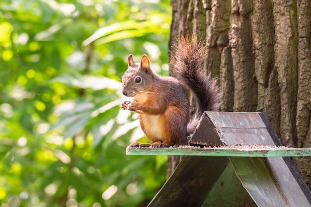 De eekhoorn zit op een voedertrog