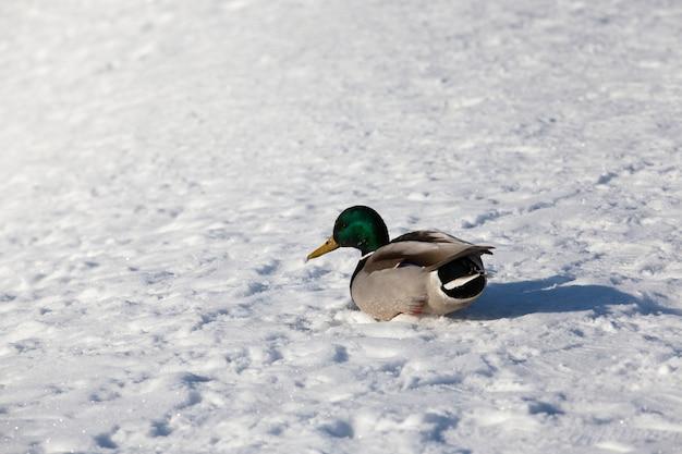 De eend bleef voor de winter in europa, het koude seizoen met vorst en sneeuw, de eend zit in de sneeuw tijdens vorst en koud weer