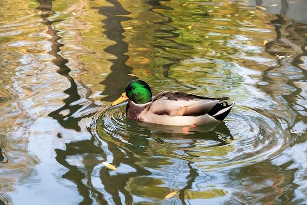 De eend zwemt in de herfst op het water in de vijver. wilde eend, mannelijke vogel. drake is een watervogel met een groene kop