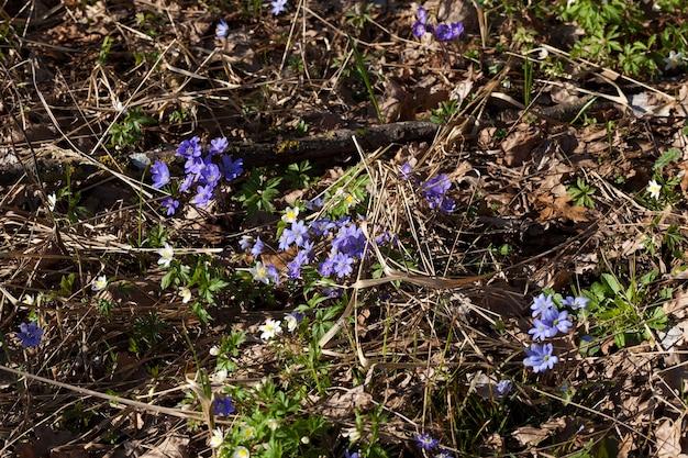De eerste blauwe bosbloemen in het voorjaar, bosplanten in het voorjaar in het bos
