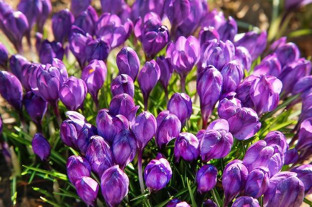 De eerste bloemen van de paarse krokus bloeiden in het bos