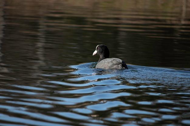 De eerste dagen van de lente eenden zwemmen in het meer op een zonnige dag