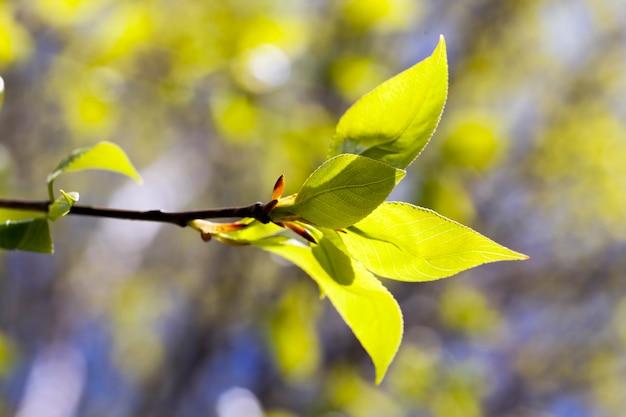 De eerste jonge bladeren aan bomen in de lente