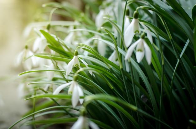 De eerste lente bloeit sneeuwdalingen op een zonnig gebied.