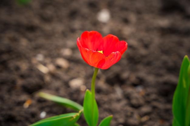 De eerste lente rode tulpen groeien in de grond