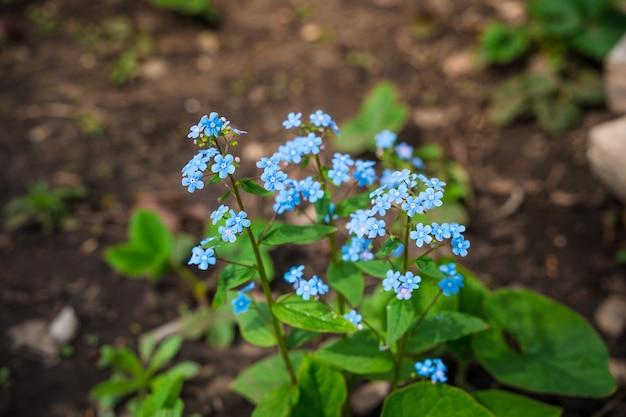 De eerste lentebloemen groeien in de grond kleine blauwe bloemen