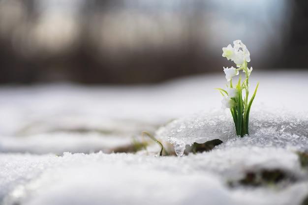 De eerste lentebloemen. sneeuwklokjes in het bos groeien uit de sneeuw. witte lelietje-van-dalenbloem onder de eerste stralen van de lentezon.