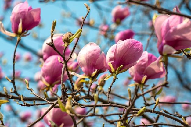 De eerste lentebloemen van magnolia op een boom op de blauwe hemel muur in een stadspark
